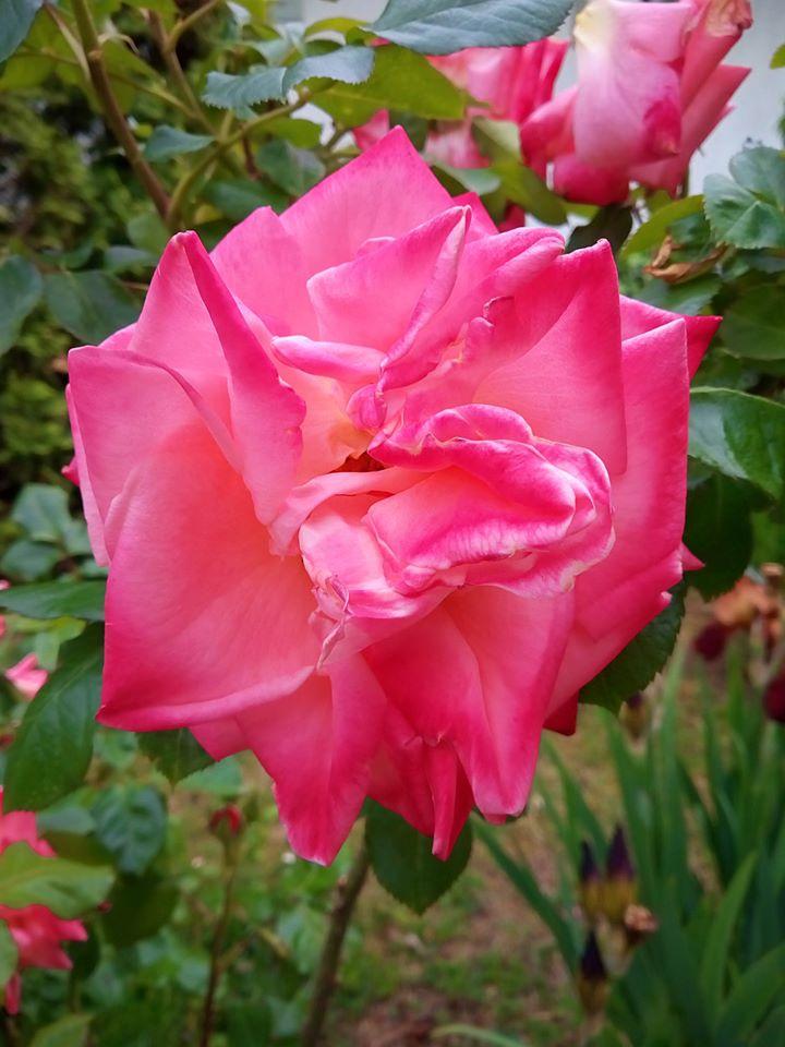 Rózsavirág